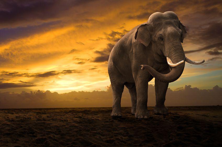 夕日の中の象