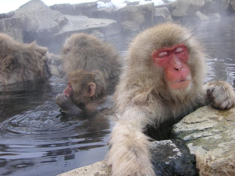 温泉に浸かる猿たち